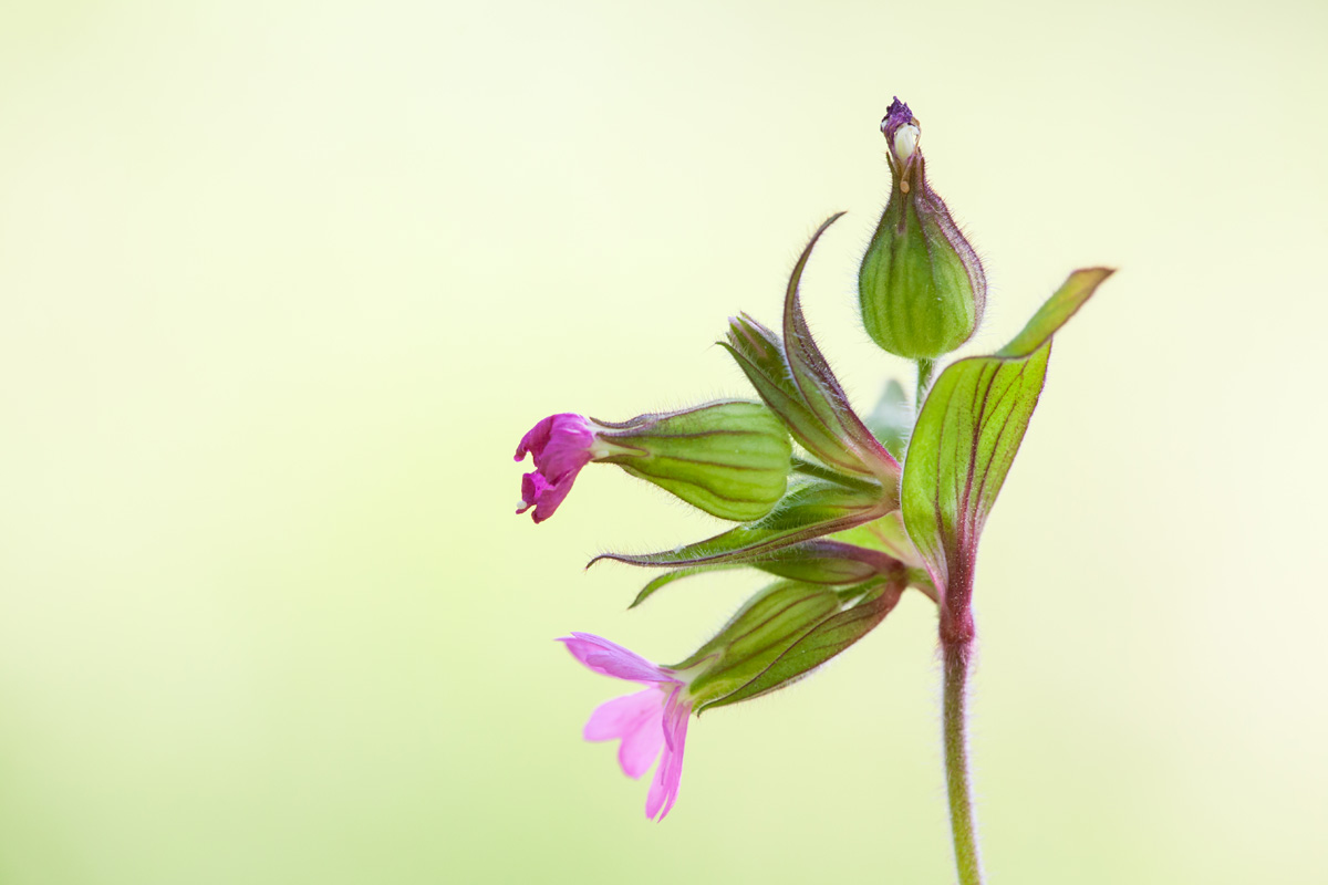 Lapin Kukka